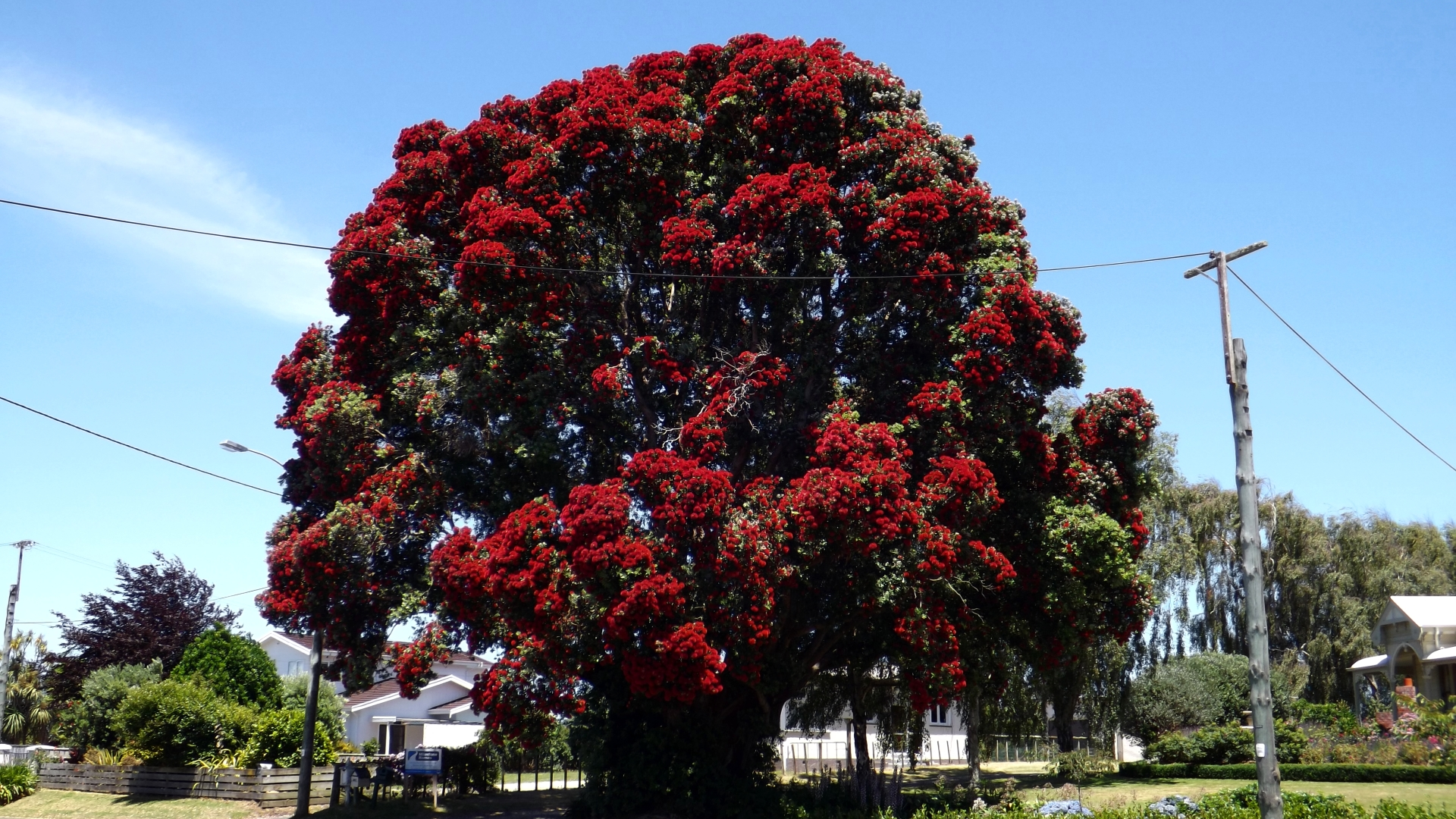 the pohutukawa tree Nothing may compare to the pohutukawa or rata tree at your favourite holiday spot, but we can all enjoy a touch of that crimson splendour at home in the garden.