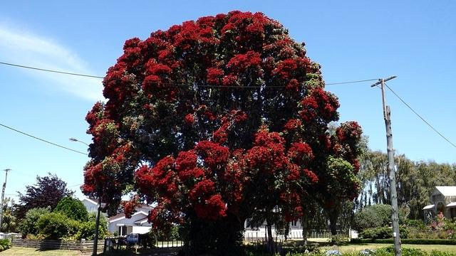 Huge Pohutukawa Tree in full bloom