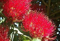 The Pohutukawa Flower